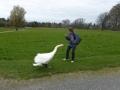Swan attacks a Wren at Birr Castle